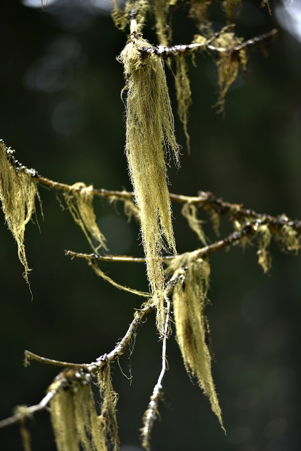 long strands of usnea lichen hanging from a branch
