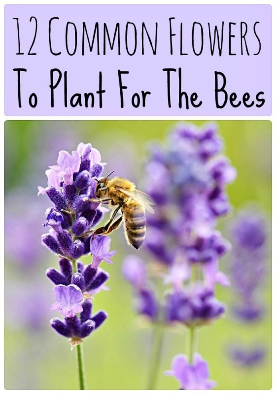 12 Common Flowers to Plant for the Bees: honey bee on a lavender blossom