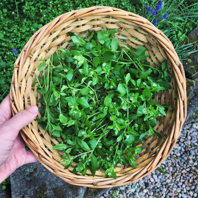 Basket of foraged chickweed greens