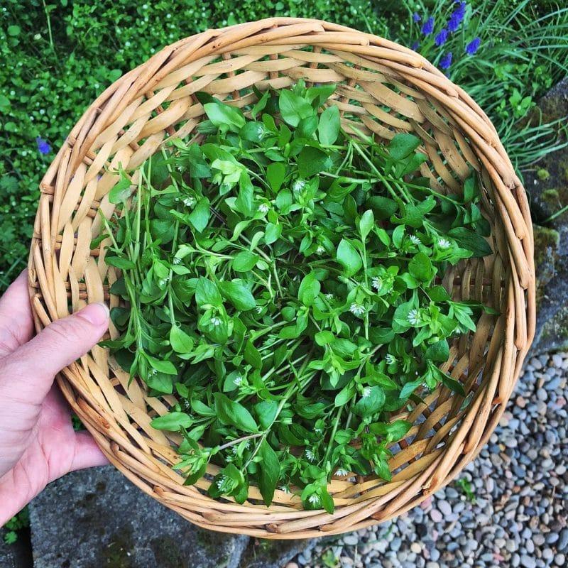 Basket of foraged chickweed greens