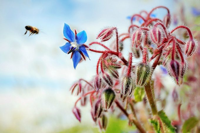 Honey bee flying towards a blue borage flower