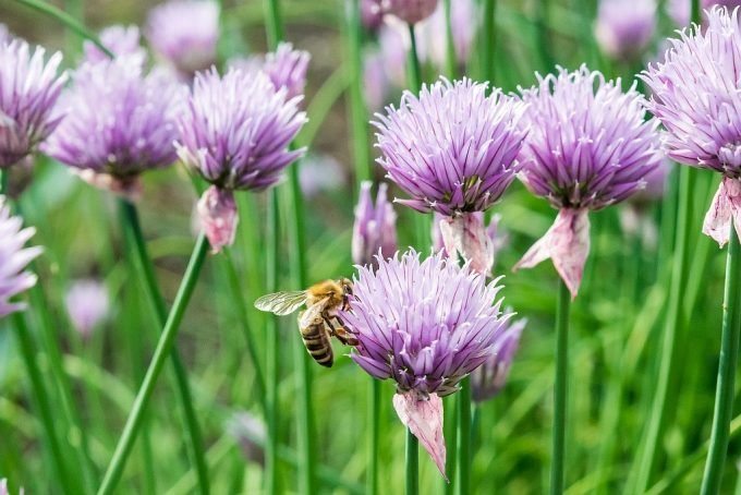 Honey bee on a purple chive blossom