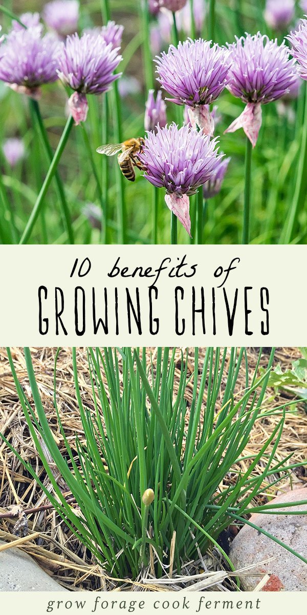 Chives are a wonderful culinary herb, but they also have many other benefits in the garden and in the kitchen. Learn about ten different benefits of growing chives and why you should have them in your herb garden! #herbs #gardening