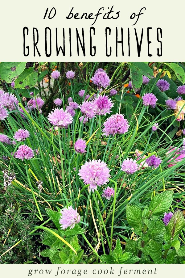 Chives growing in a garden with chive flowers.