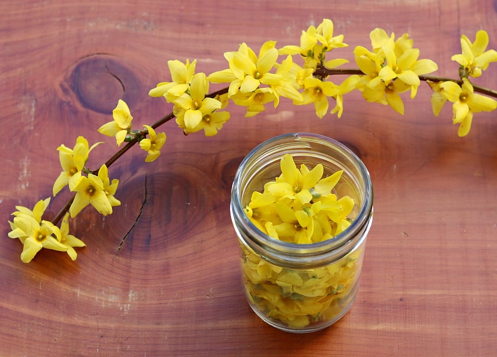 a jar of foraged forsythia flowers