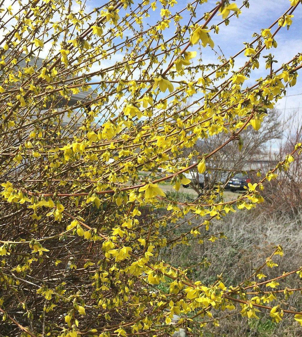 Forsythia shrub full of yellow flowers