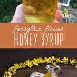 A jar of forsythia flowers infusing in honey, and a glass jug of forsythia flower honey syrup.