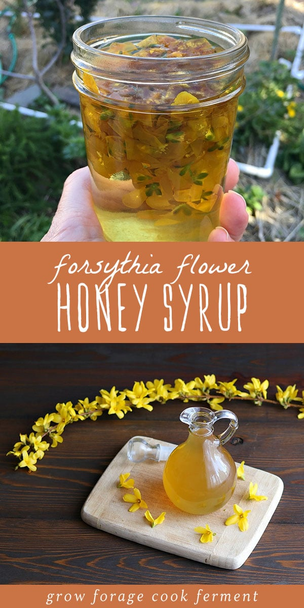 The blooming bright yellow flowers of the forsythia shrub is one of the first signs of spring, but not everyone knows that the blossoms are edible! Make this forsythia syrup with honey for a delicious spring treat. #forage #edibleflowers