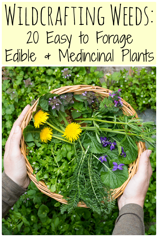 Learn how to identify and use common wild edible weeds that might be growing in your backyard with this eBook: Wildcrafting Weeds: 20 Easy to Forage Edible and Medicinal Weeds.