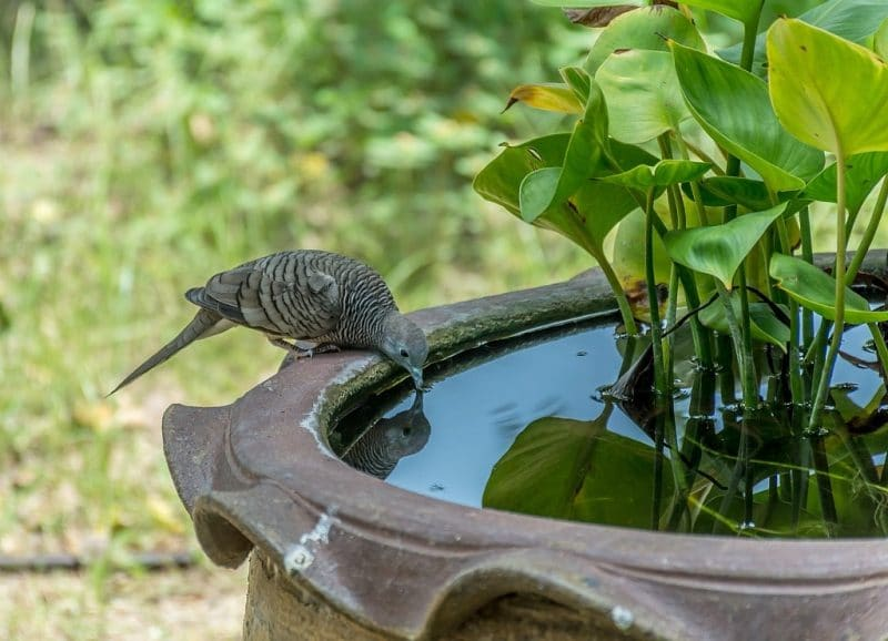 Bird drinking water from a bird bath