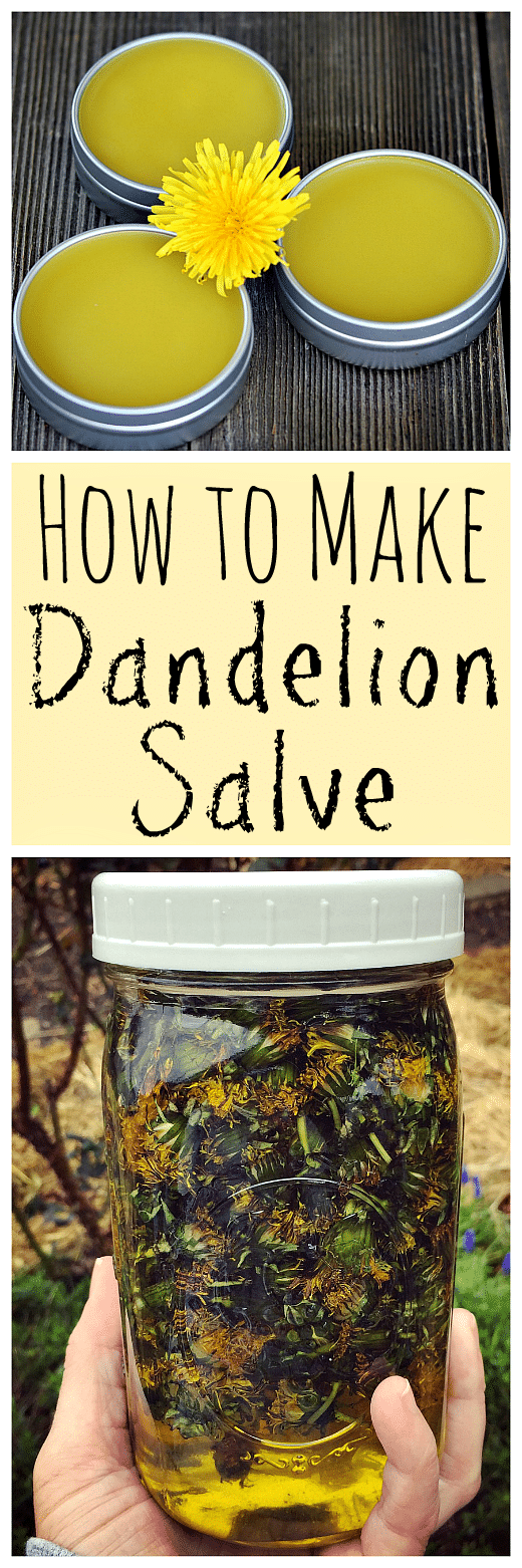 When dandelions are blooming make this healing dandelion salve recipe using foraged dandelions!