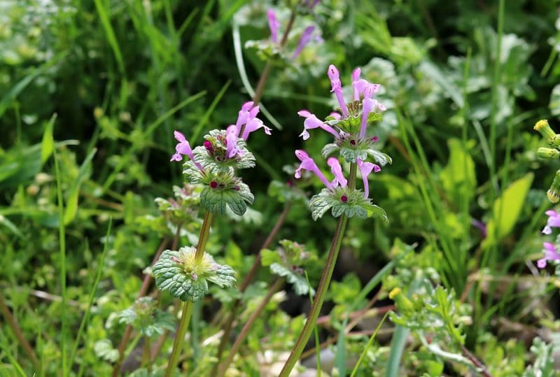 henbit with little pink flowers