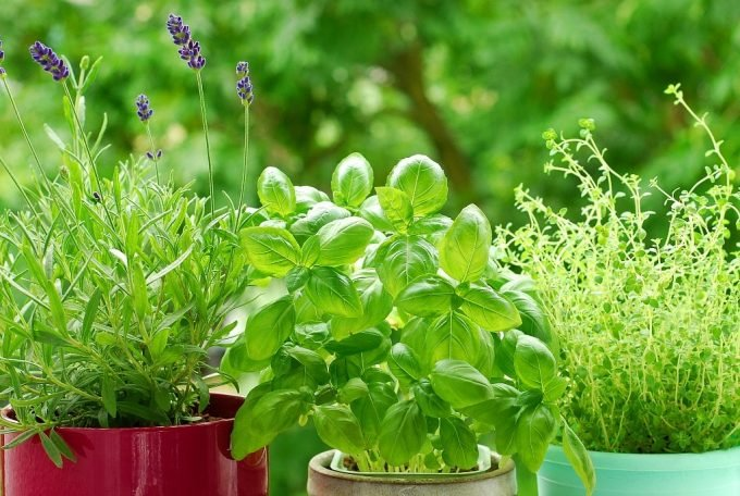 Lavender, basil, and thyme in pots