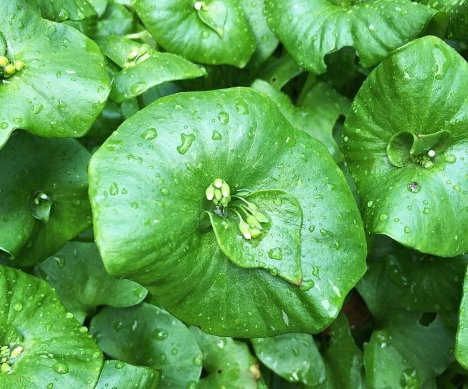 miner's lettuce with drops of rain