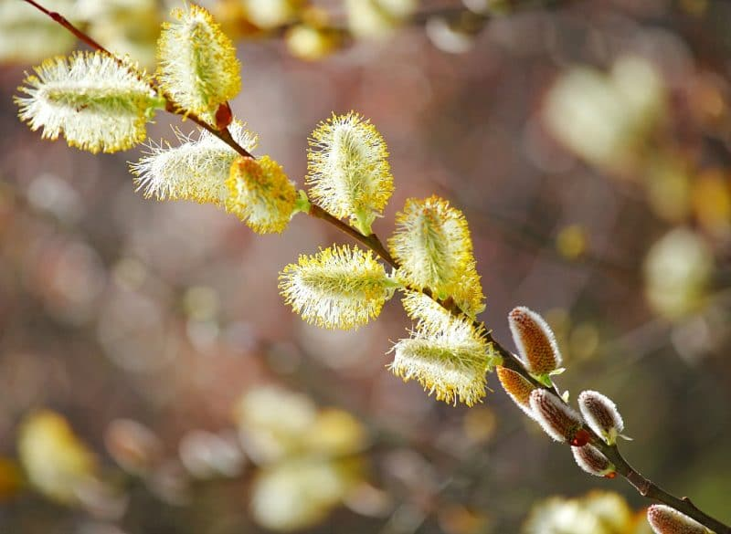willow branch with blossoms