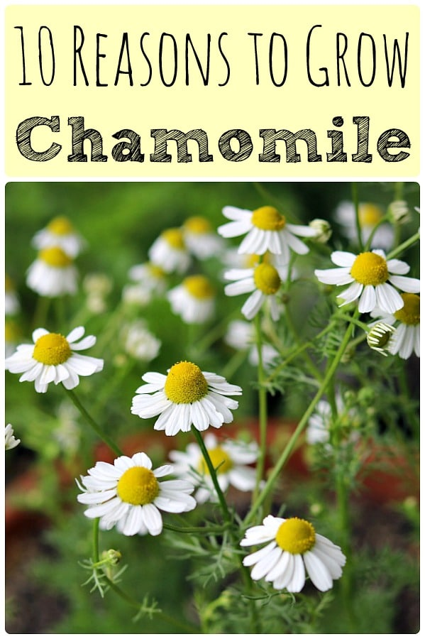 10 reasons to grow chamomile with a picture of chamomile flowers