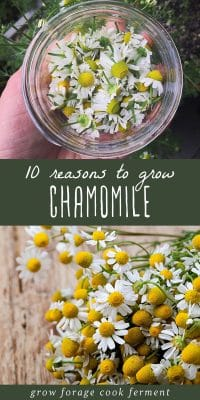 Chamomile flowers in a small jar, and fresh chamomile flowers on a wood background.