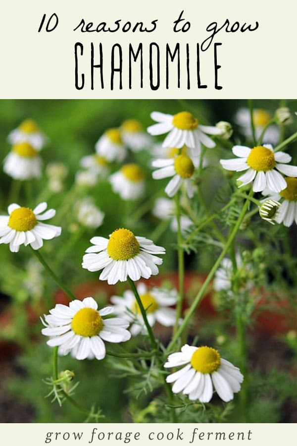 An image of a chamomile plant with flowers.