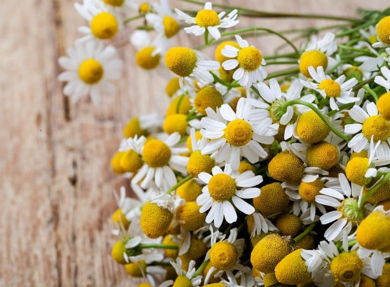 a big bunch of fresh chamomile flowers on a wooden board