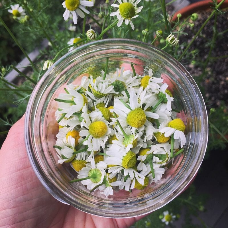 A small jar of freshly cut homegrown chamomile flowers