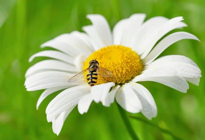 close up of a hoverfly on a chamomile flower