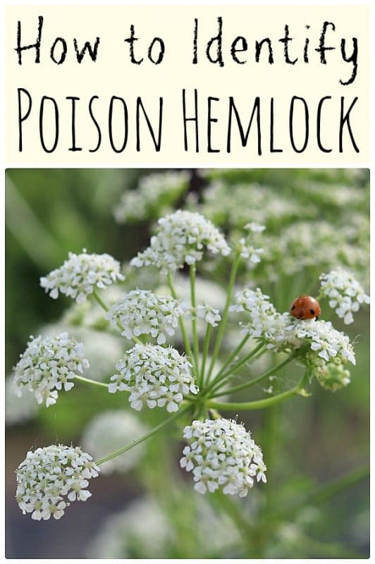 a close up of a poison hemlock flower with a ladybug on it