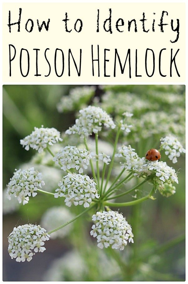 Poison hemlock is a highly toxic plant that every forager should know how to identify. Here are identification tips along with differences between poison hemlock and popular edible wild plants. #foraging #wildcrafting #poisonhemlock #hemlock