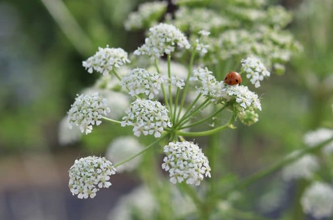 Poison Hemlock: How to Identify and Potential Look-alikes