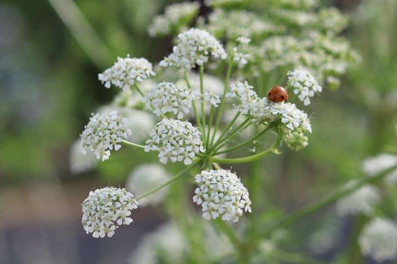 a close up of a poison hemlock flower