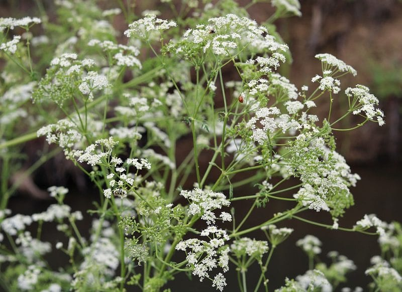 many poison hemlock flowers showing the compound umbel shape