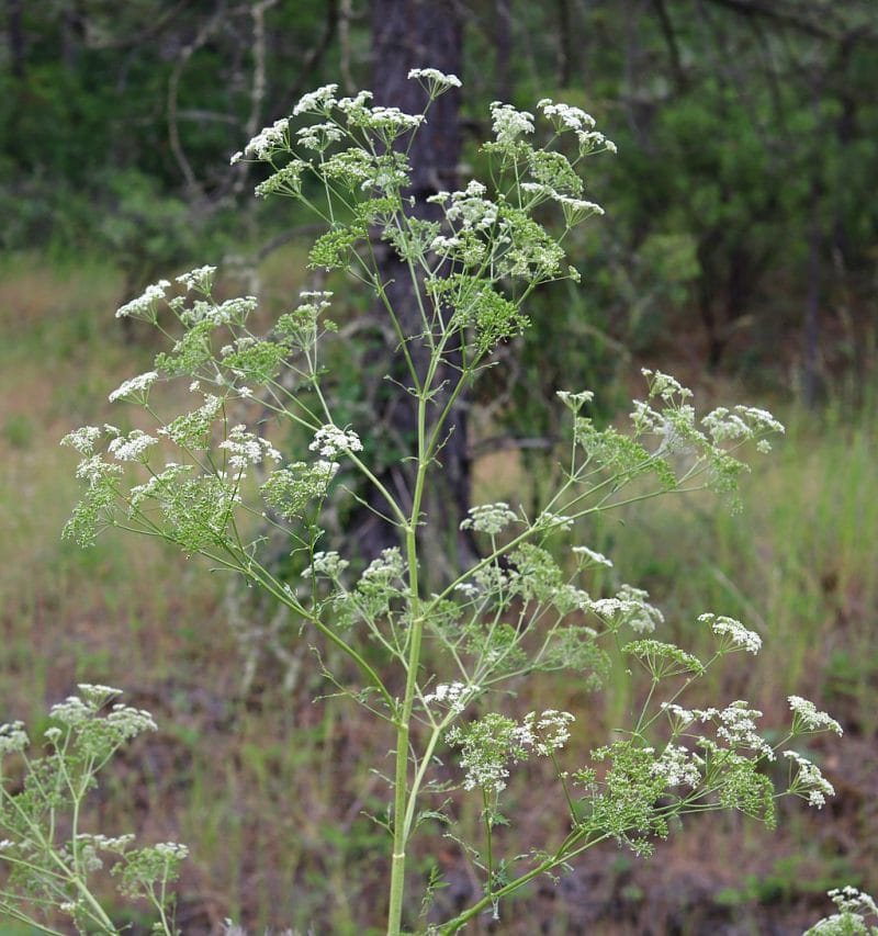 the top half of a tall poison hemlock plant that is in bloom