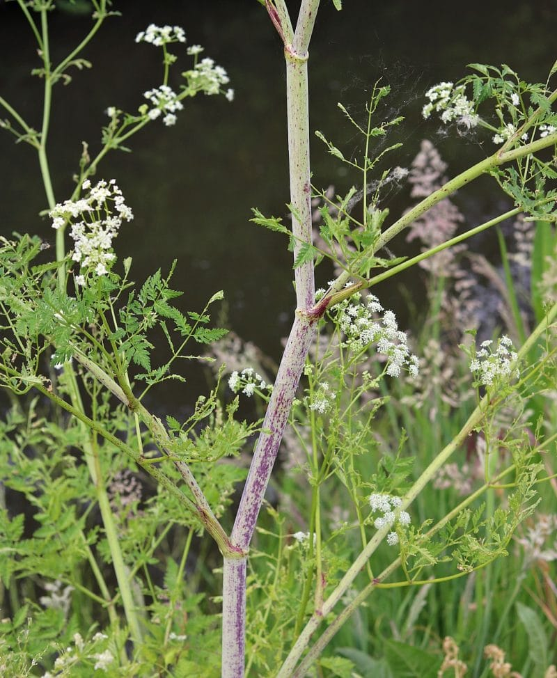a close up of the stem of poison hemlock that shows the purple splotches and streaks