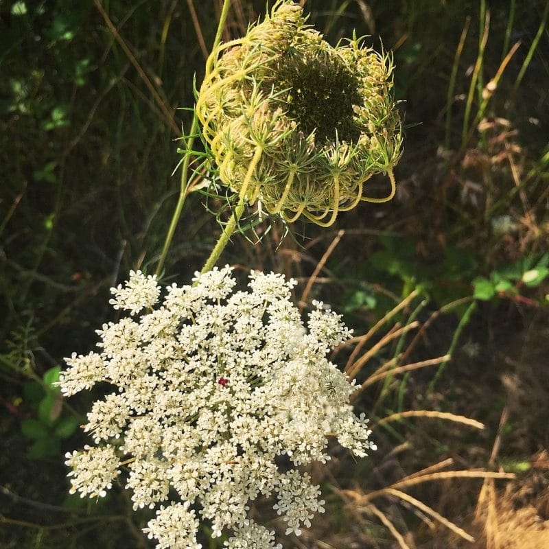 two Queen Anne's lace flowers, one showing the red dot in the center, the other showing the curled up bird nest shape