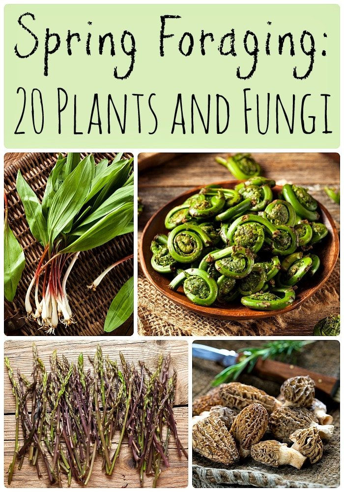 Spring foraging: 20 plants and fungi