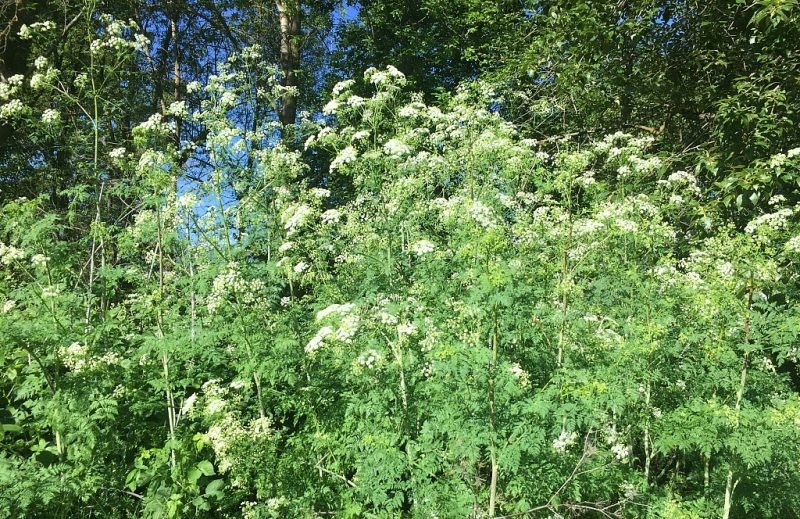 thicket of poison hemlock growing near a park