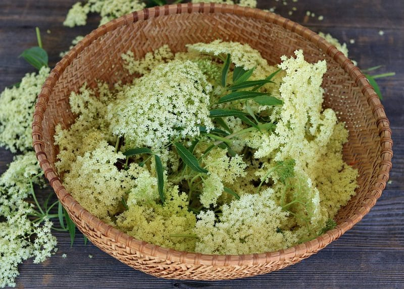 a large basket of foraged elderflowers