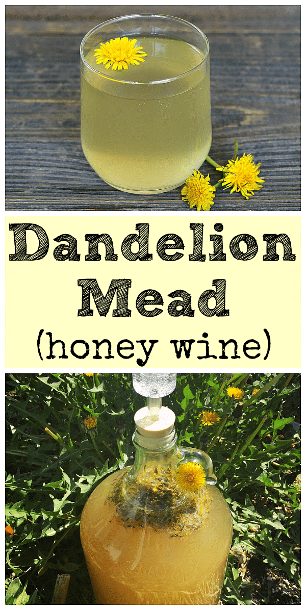 Learn how to make dandelion mead with your foraged dandelions! It is similar to the old school recipe for dandelion wine, but made with honey instead. #dandelion #mead #dandelionwine #homebrew #fermenting