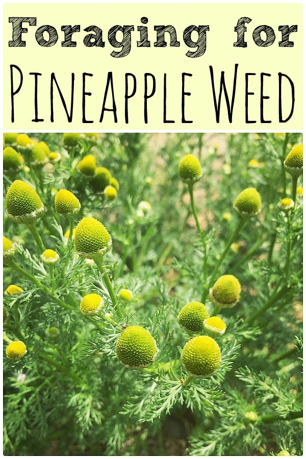 "a close up of pineapple weed flowers with the text ""foraging for pineapple weed"""