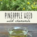 A pineapple weed (wild chamomile) plant, and a glass of pineapple weed tea.