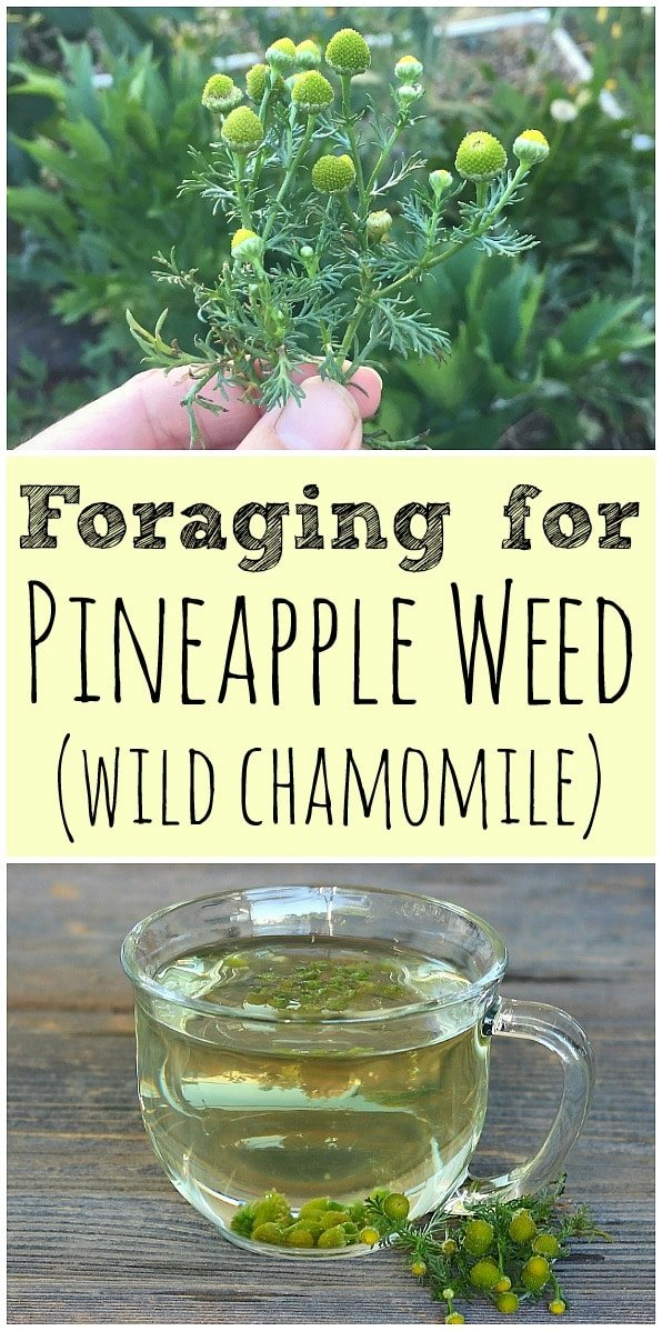 Pineapple weed, also known as wild chamomile, is easy to forage for. It is a common plant that is edible and had many medicinal benefits! #pineappleweed #wildchamomile #foraging #wildcrafting #tea