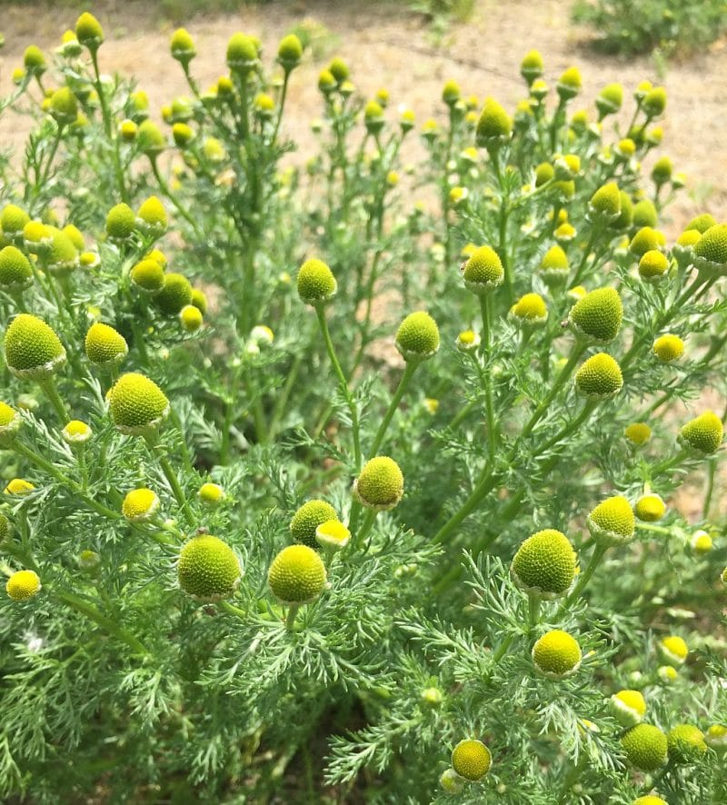 pineapple weed plant showing the flowers and leaves