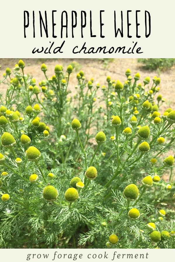 A large pineapple weed (wild chamomile) plant.