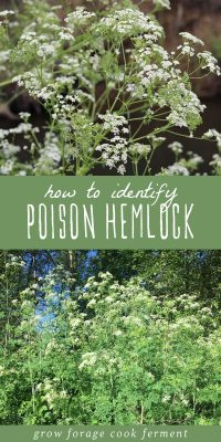 Images showing how to identify poison hemlock.