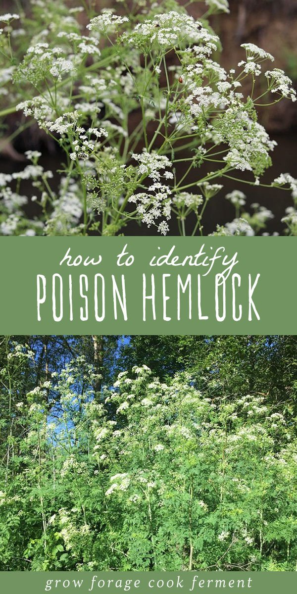 Poison hemlock is a highly toxic plant that every forager should know how to identify. Here are identification tips along with differences between poison hemlock and popular edible wild plants. #foraging #wildcrafting #hemlock