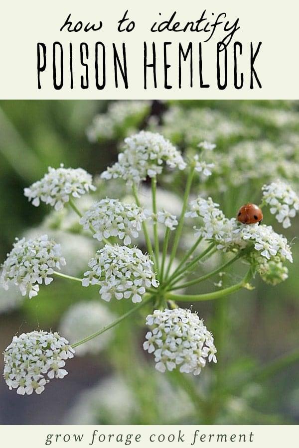 Poison hemlock flower with a ladybug.