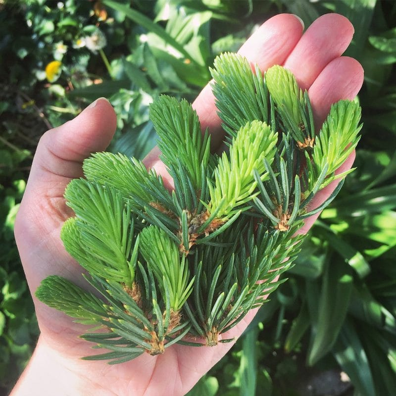 a hand holding foraged spruce tips