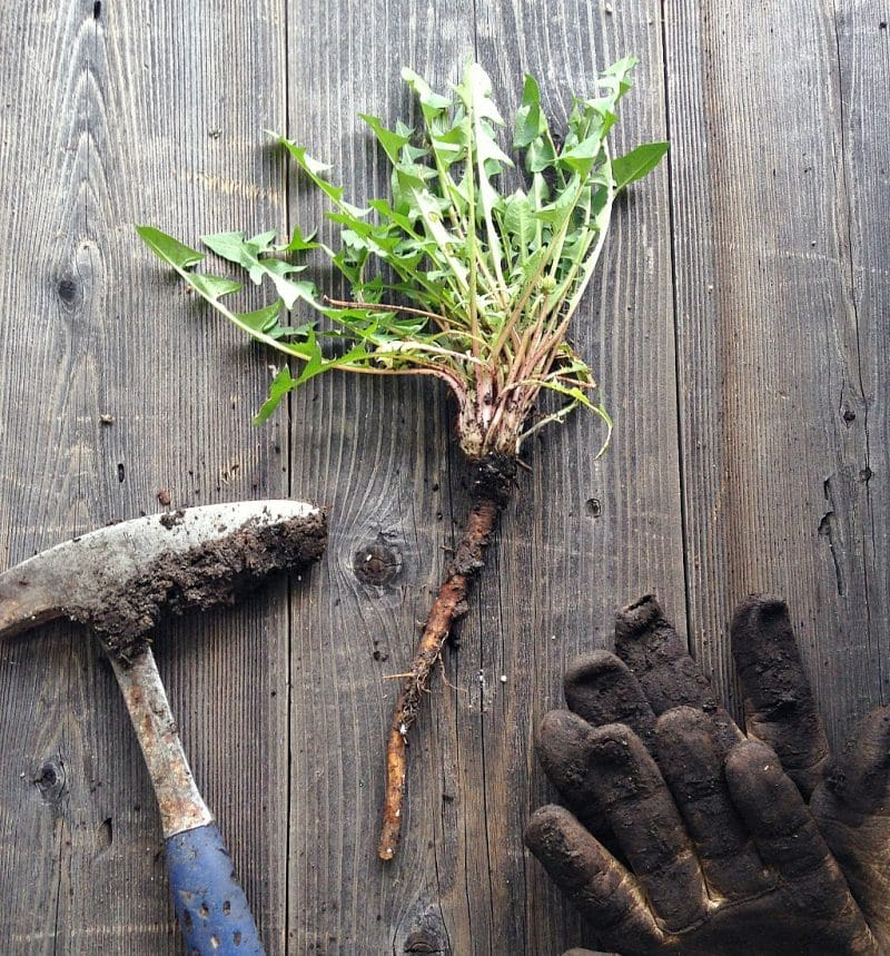 a foraged dandelion root on a table with a garden pick and gloves