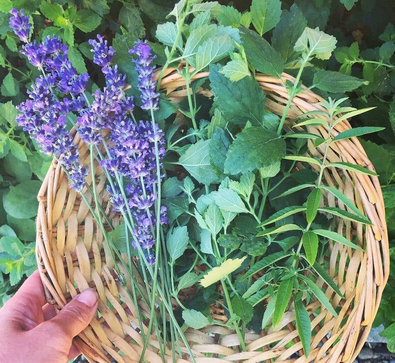 a harvest basket of lavender, lemon balm, and lemon verbena