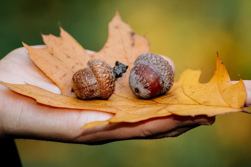 a hand holding a fall leaf and two acorns