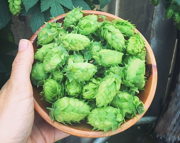 a hand holding a wooden bowl full of hops